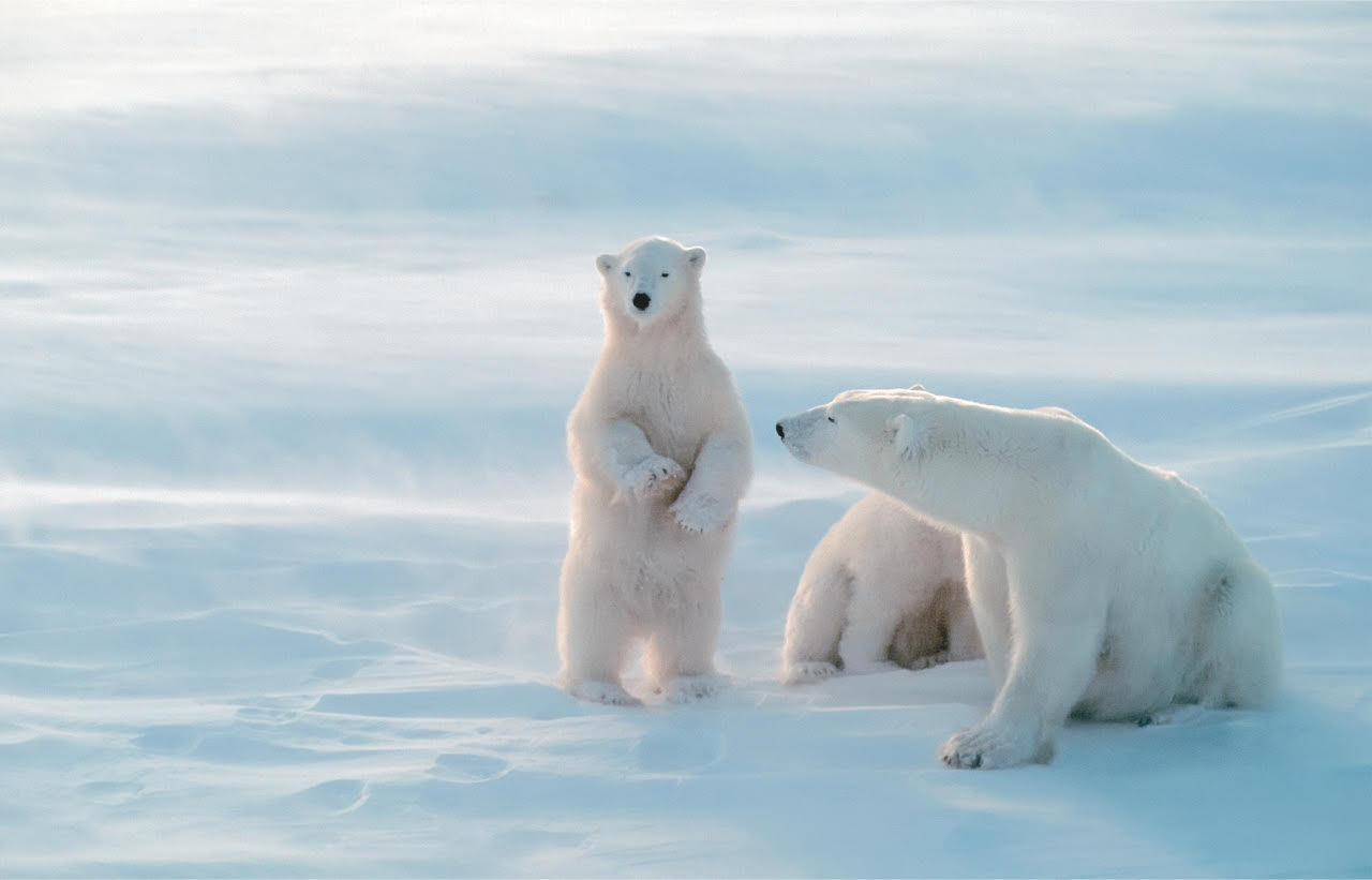25 IcyCool Facts About Polar Bears  Mental Floss
