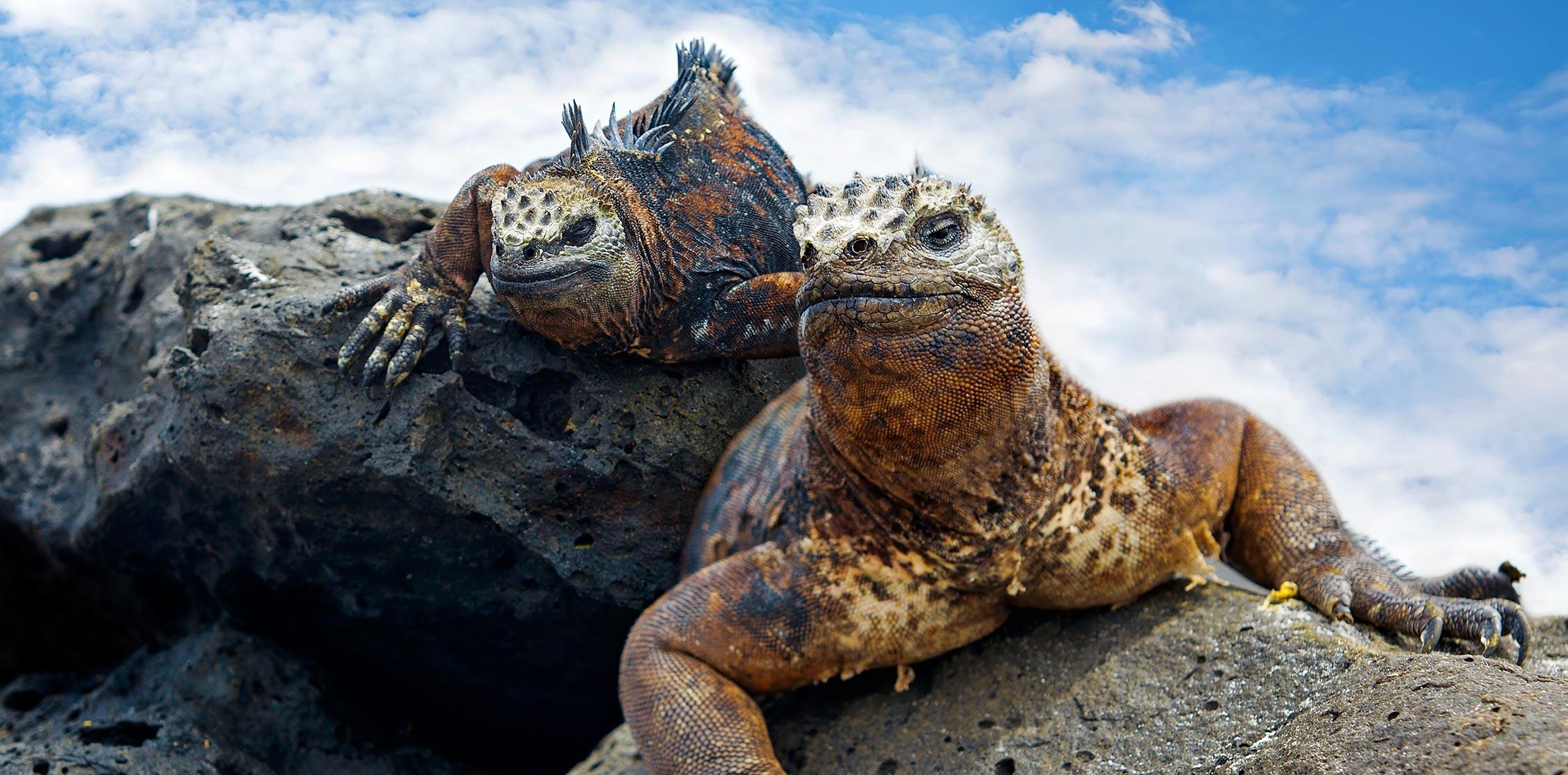 Galapagos, Marine Iguans